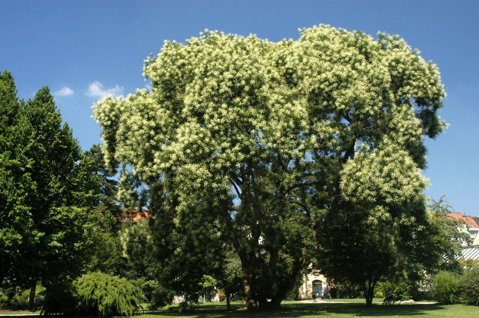 Sophora Japonica Honingboom Van Den Berk Boomkwekerijen