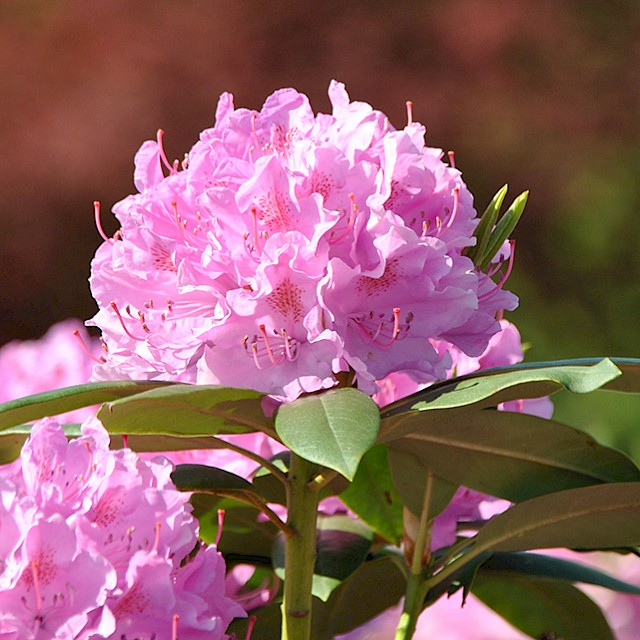 Top Rhododendrons