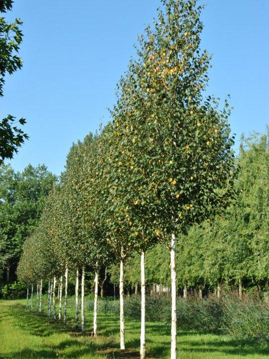 Betula-albosinensis