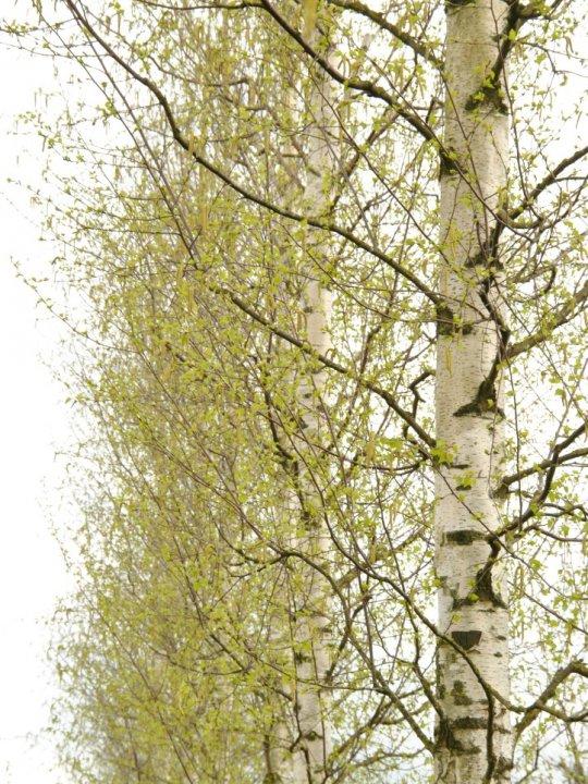 Betula-pendula-zwitsers-glorie
