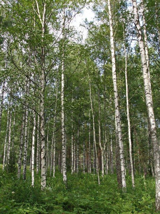 Betula-pubescens