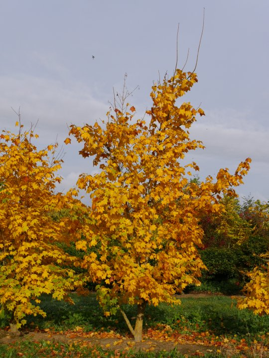 Acer-cappadocicum