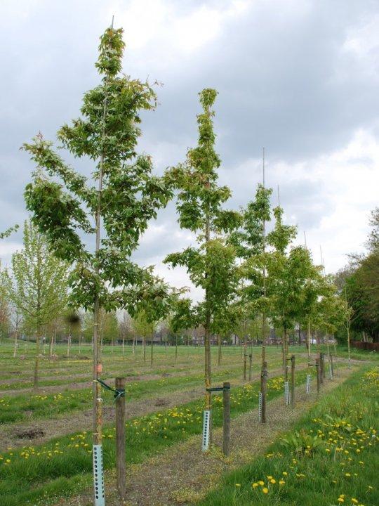 Acer-mandschuricum