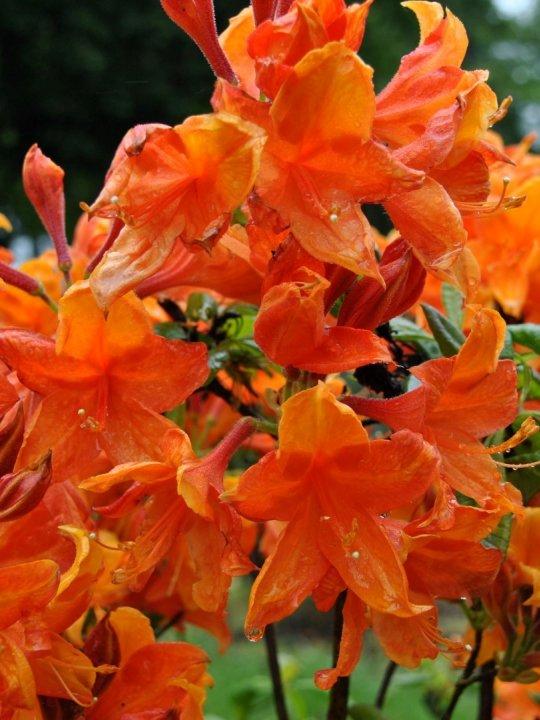 Rhododendron-ak-golden-eagle