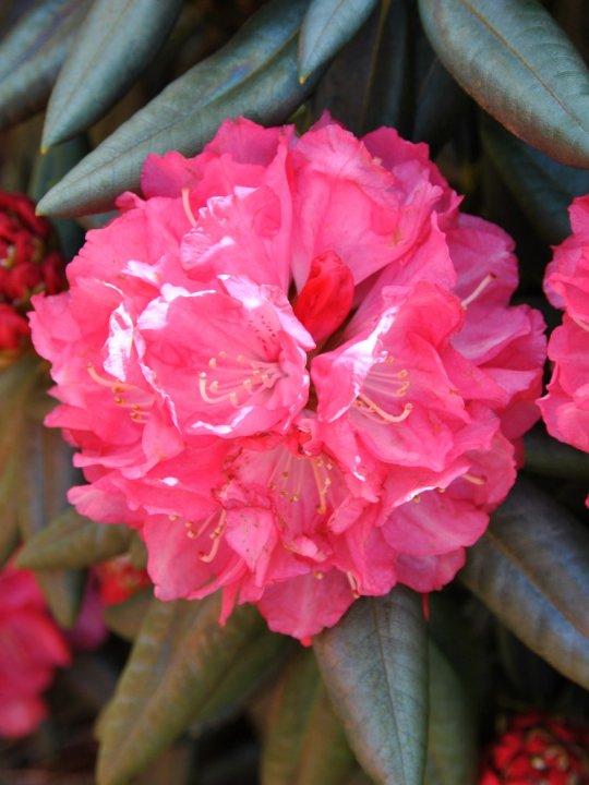 Rhododendron-y-anilin