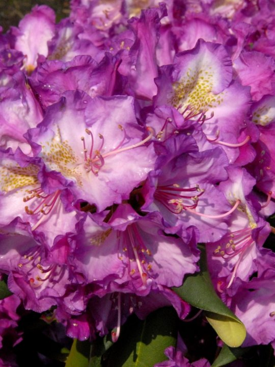 Rhododendron-y-bohlken-s-lupinenbg-r