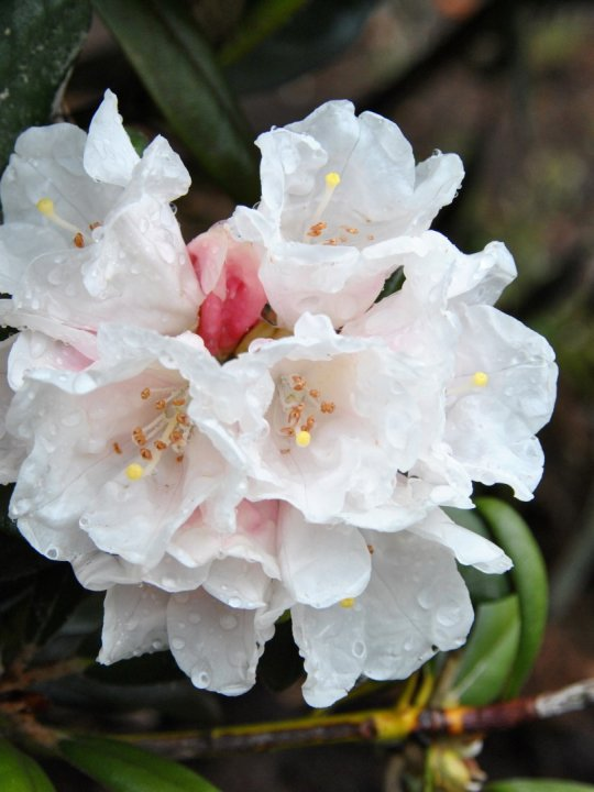 Rhododendron-y-edelweiss