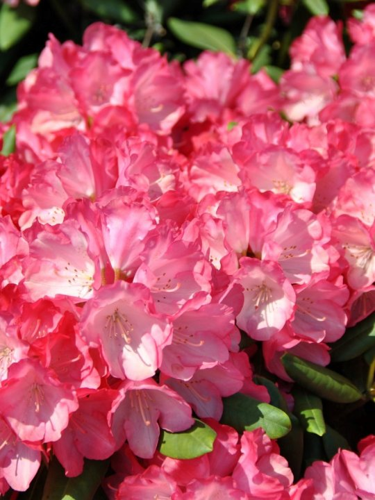 Rhododendron-y-fantastica