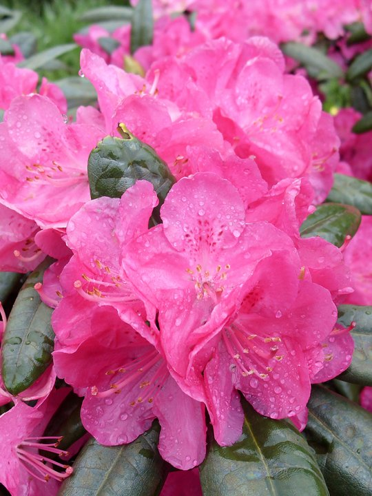 Rhododendron-homer
