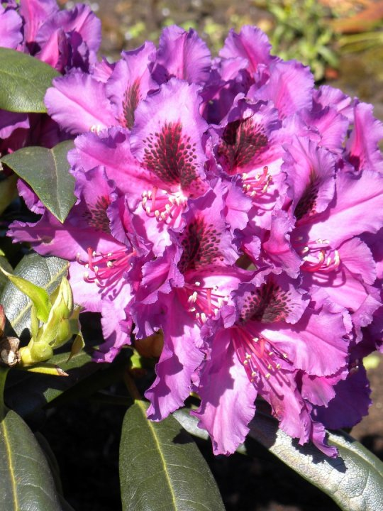 Rhododendron-mogambo