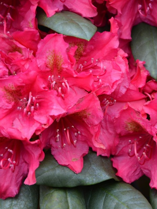 Rhododendron-mrs-p-den-ouden