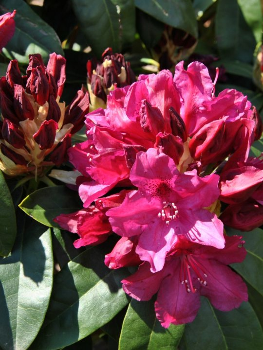 Rhododendron-old-port
