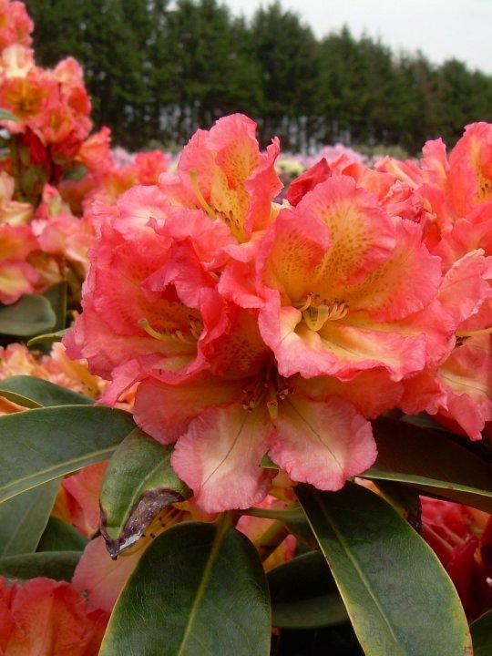 Rhododendron-sun-fire