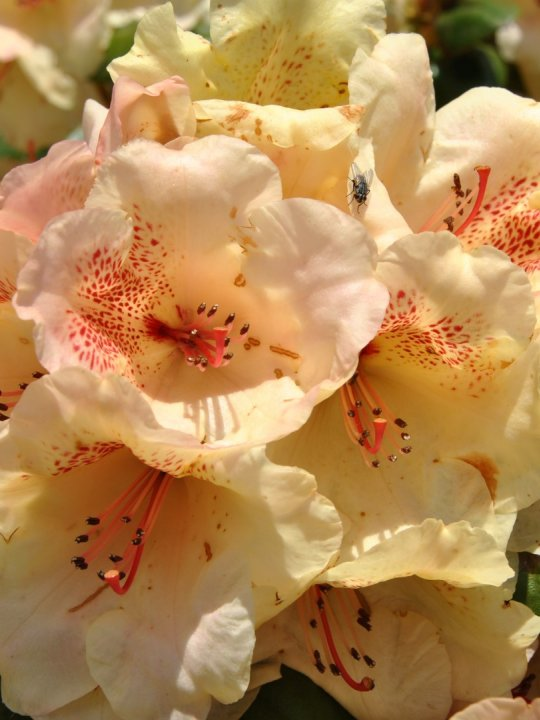 Rhododendron-viscy