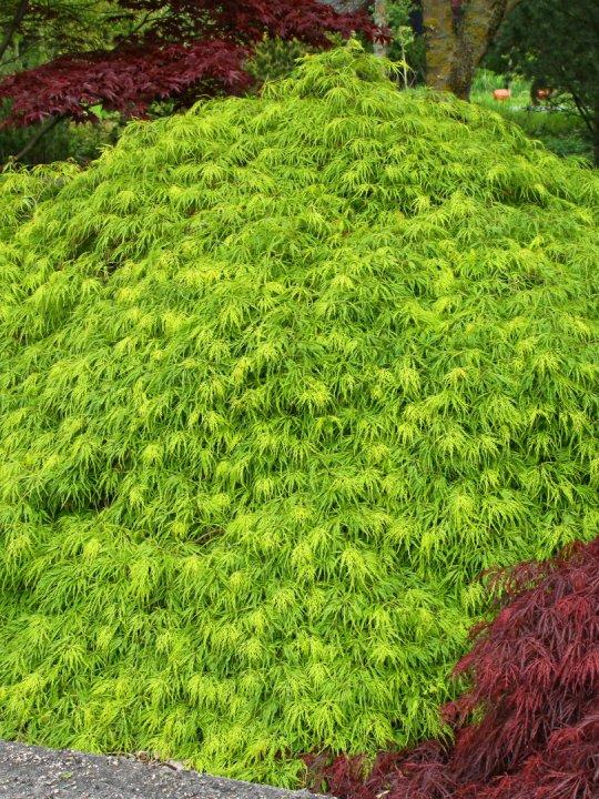 Acer-palmatum-dissectum