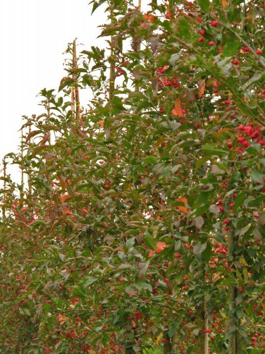 Euonymus-europaeus-red-cascade
