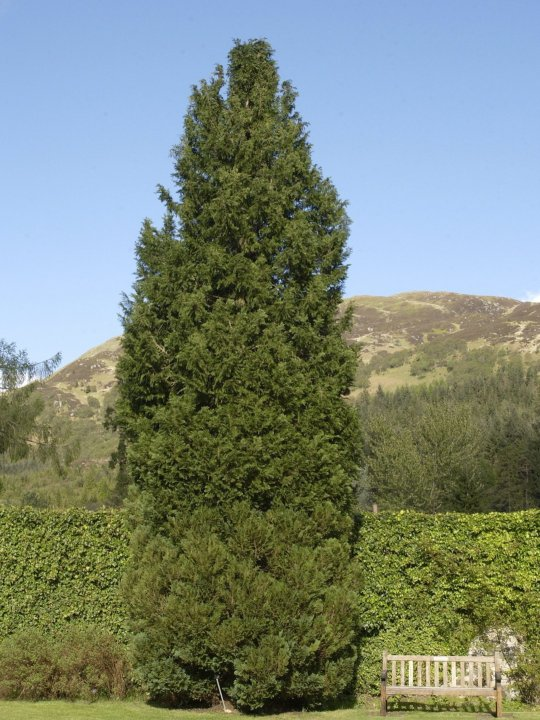 Chamaecyparis-lawsoniana-columnaris