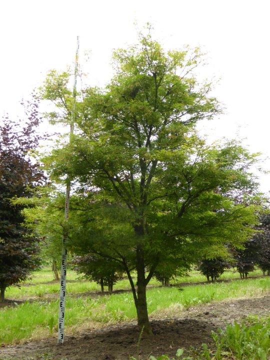 Acer-palmatum-linearilobum