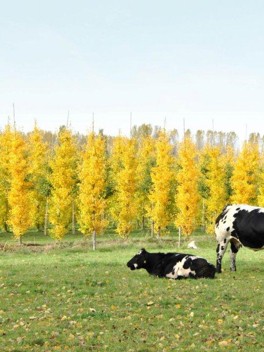 Ginkgo-biloba-autumn-gold