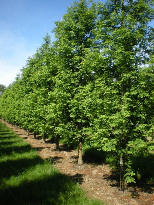 Metasequoia-glyptostroboides-sheridan-spire