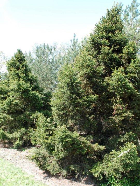 Picea-abies-will-s-zwerg