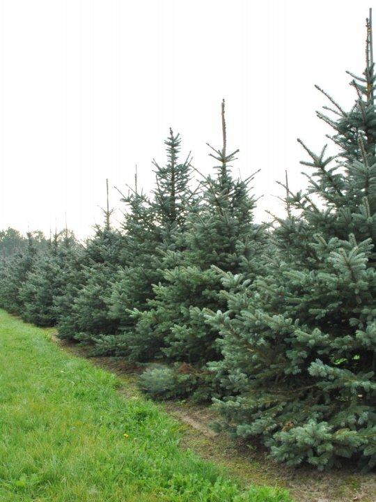 Picea-pungens-fat-albert
