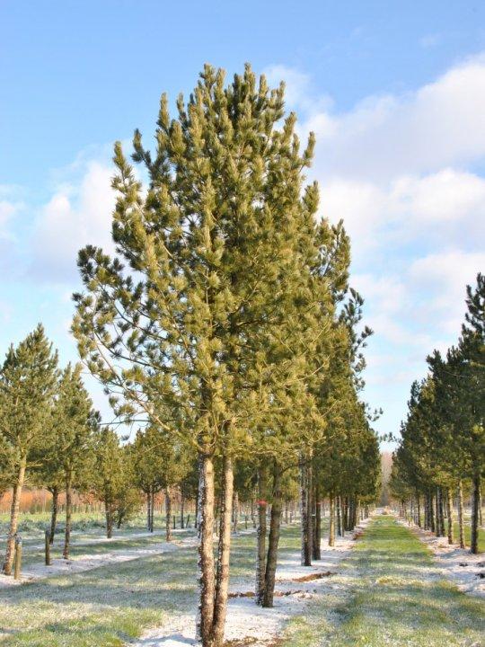 Pinus Cembra 2