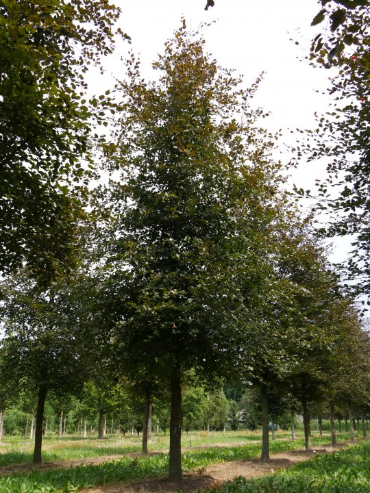 Fagus-sylvatica-atropunicea