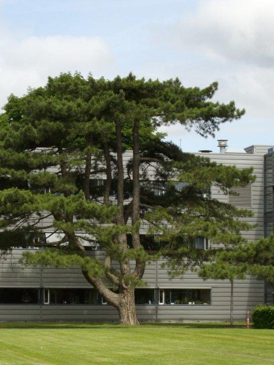 Pinus-nigra-subsp-nigra