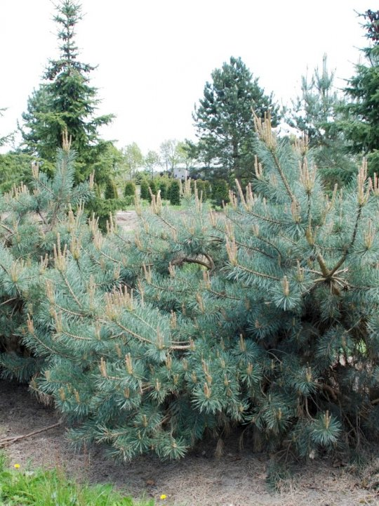 Pinus-sylvestris-repens