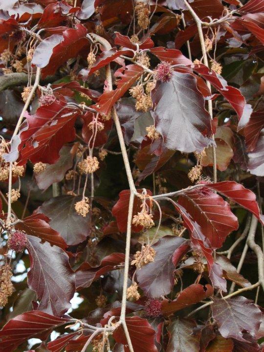 Fagus-sylvatica-purpurea-pendula
