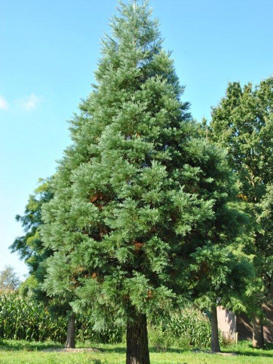Sequoiadendron-giganteum-glaucum