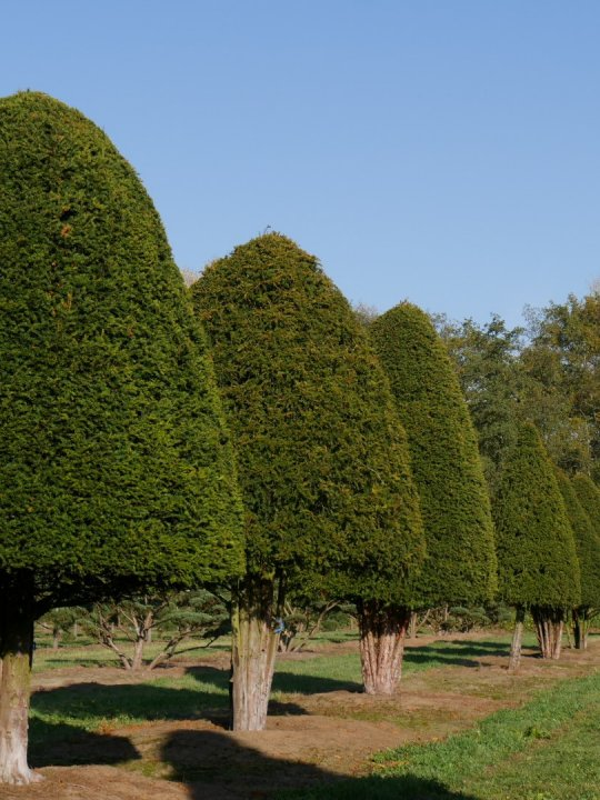 Taxus-baccata
