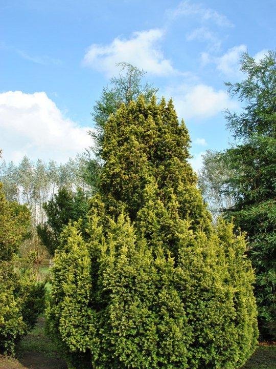 Taxus-baccata-f-aurea