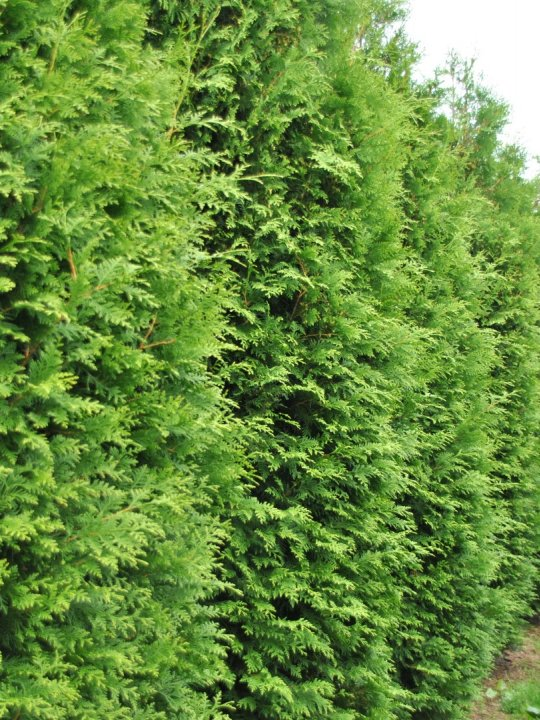 Thuja-occidentalis-brabant