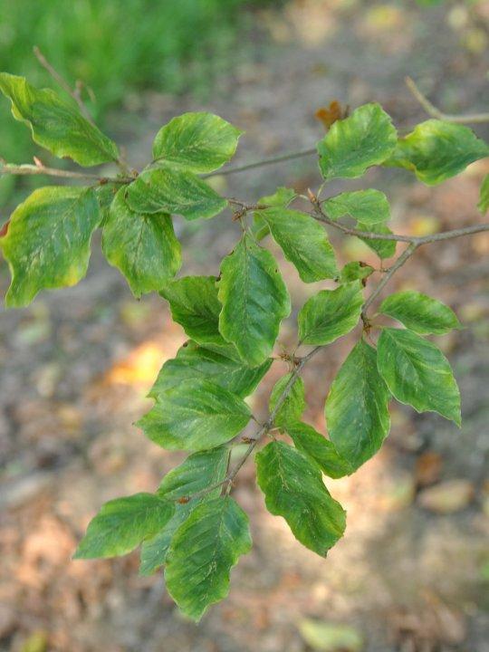 Fagus-sylvatica-viridivariegata