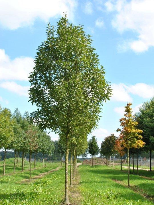 Fraxinus-excelsior-diversifolia