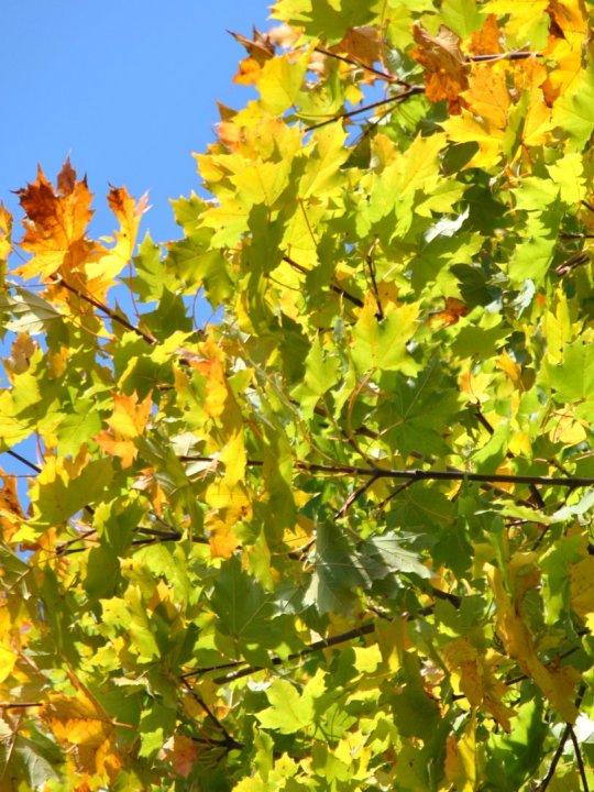 Acer-platanoides-cleveland