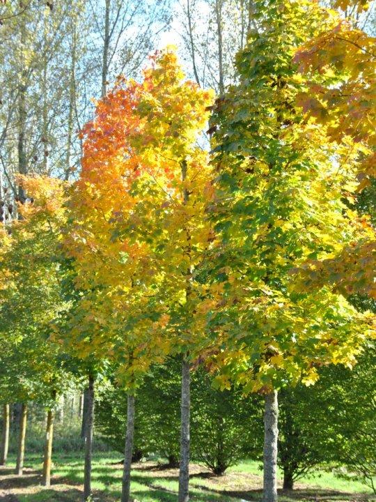 Acer-platanoides-columnare
