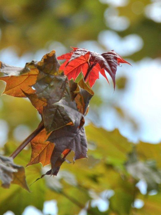 Acer-platanoides-deborah