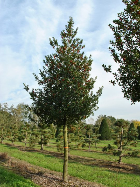 Ilex-aquifolium
