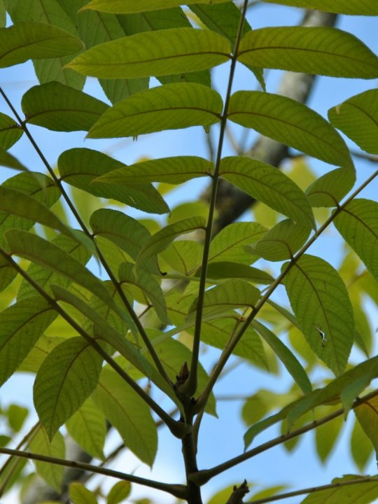 Juglans-ailantifolia