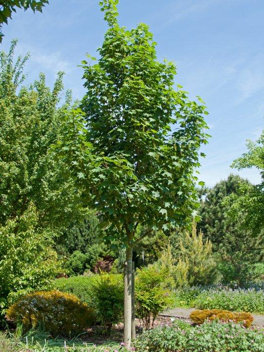 Acer-pseudoplatanus-bruchem