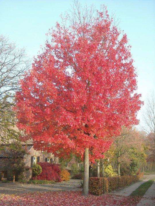 Acer-rubrum-red-sunset-franksred
