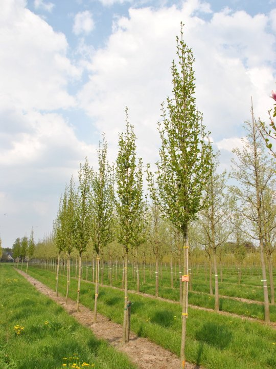 Magnolia-kobus-isis-maraczy