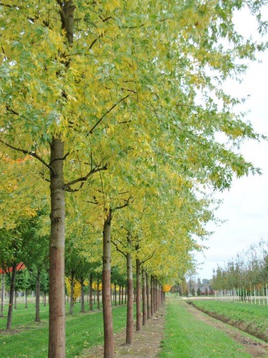 Acer-saccharinum-asplenifolium