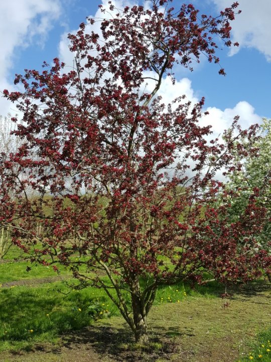 Malus-red-silver