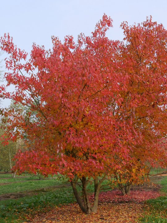 Acer-tataricum-subsp-ginnala