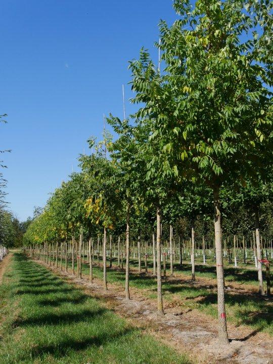 Phellodendron-amurense