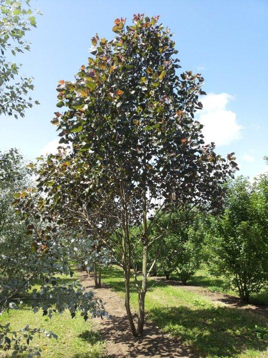 Populus-nigra-sannae